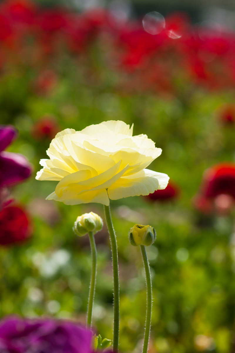 Close up of Ranunculus flower at Carlsbad Flower Field