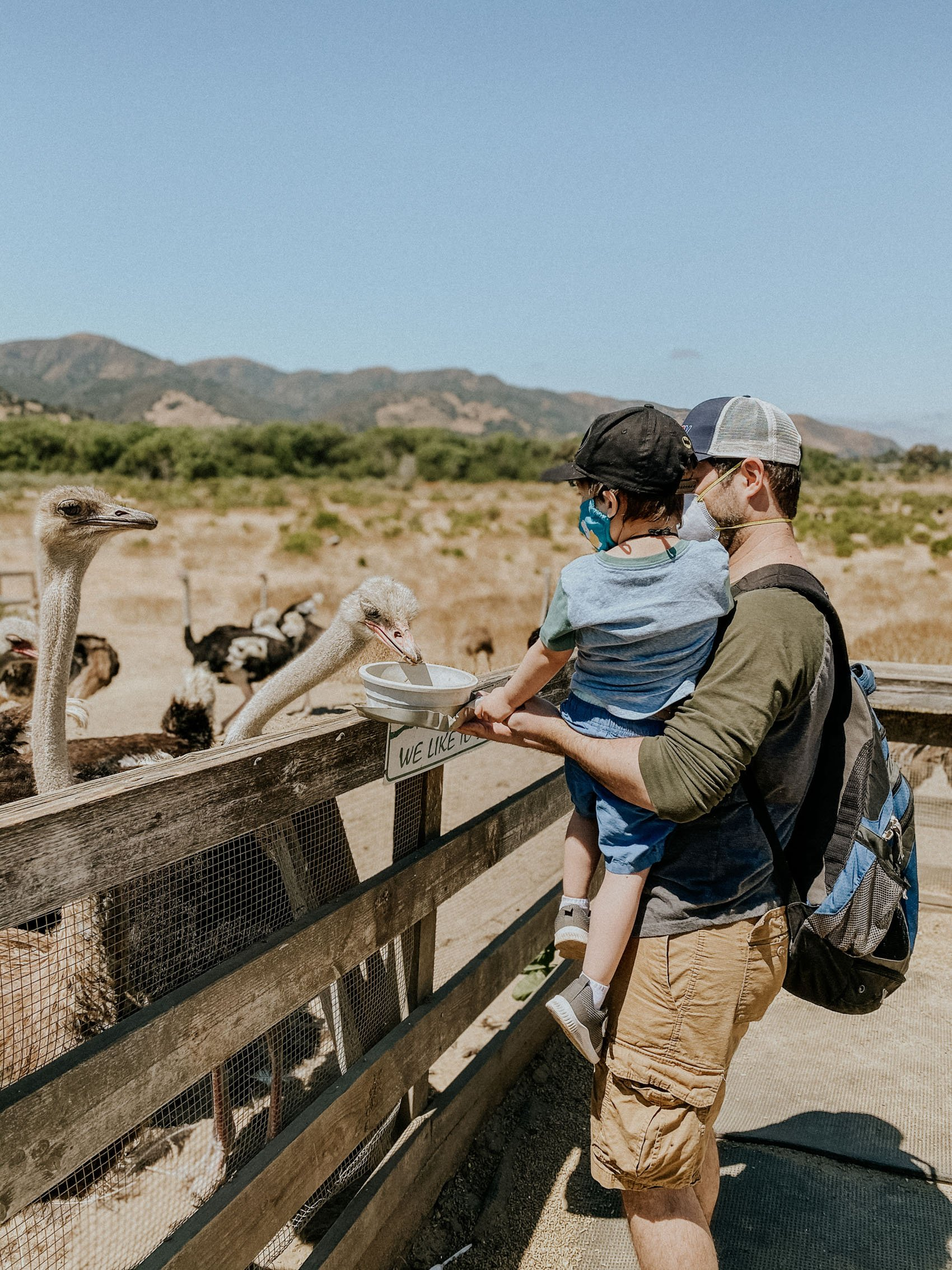Feeding the Ostriches at Ostrichland USA